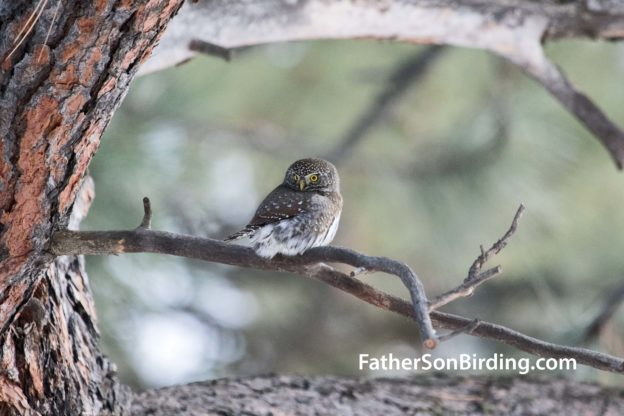Christmas Bird.Montana Christmas Bird Count 1 Owlservations